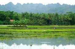 рис поля Стоковое Изображение RF
