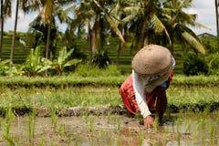 рис поля Стоковое Изображение