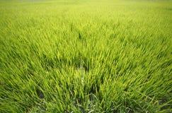 рис поля Стоковые Фотографии RF