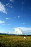 рис поля Стоковые Изображения RF