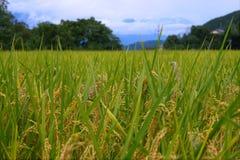 рис поля Стоковые Изображения