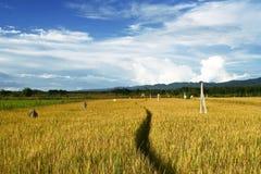 рис поля Стоковое фото RF