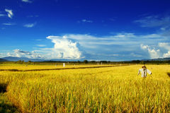 рис поля Стоковое Фото