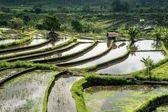 рис поля bali стоковая фотография