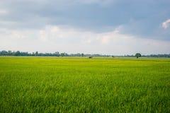 рис полей зеленый Стоковые Изображения RF