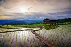 рис поля зеленый сочный mai chiang Таиланд Стоковая Фотография RF