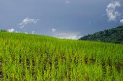 рис поля зеленый Стоковое Изображение