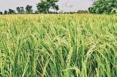 рис поля зеленый Стоковые Изображения