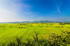 рис поля зеленый Стоковое Изображение RF