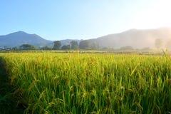 рис поля зеленый Стоковая Фотография RF