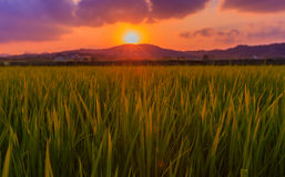 рис поля зеленый стоковое фото rf