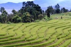 рис поля зеленый terraced Стоковые Изображения RF