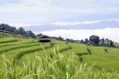 рис поля зеленый terraced Стоковое Изображение