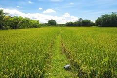 рис поля тайский Стоковое Фото