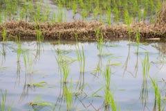 Рис растительности fields во время сезона дождей в сельской местности Таиланда Стоковое фото RF