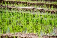 Рис растительности fields во время сезона дождей в сельской местности Таиланда Стоковые Изображения RF