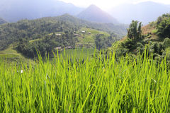 Рис растя в солнце Стоковые Изображения RF