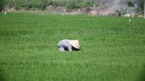 Рис сбора фермеров Вьетнама сток-видео