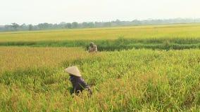Рис сбора фермеров в поле видеоматериал