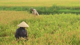 Рис сбора фермеров в поле акции видеоматериалы