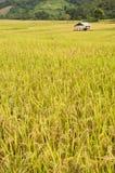 рис Таиланд поля золотистый Стоковое Фото