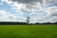 рис Таиланд поля стоковые изображения