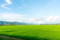 рис Таиланд поля зеленый Стоковое Изображение