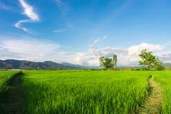 рис Таиланд поля зеленый Стоковая Фотография