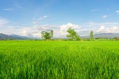 рис Таиланд поля зеленый Стоковые Фото