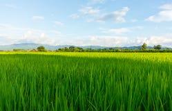 рис Таиланд поля зеленый Стоковое Изображение RF