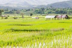 рис Таиланд поля Стоковое Изображение RF