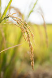 рис Таиланд поля стоковое фото