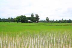 Рис, Таиланд Стоковое фото RF