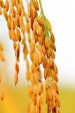 рис тайский Стоковое Фото
