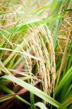 Рис тайский Стоковые Изображения RF
