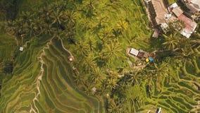 Рис террасы fields в Ubud, Бали, Индонезии сток-видео