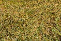 Рис упал перекрытие в поле Стоковая Фотография
