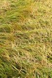 Рис упал перекрытие в поле Стоковое Изображение RF