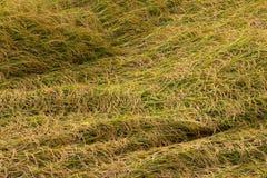 Рис упал перекрытие в поле Стоковые Изображения RF