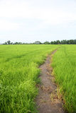 рис фермы зеленый Стоковая Фотография RF