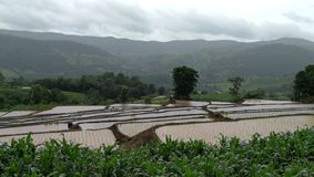 рис фермы тайский Стоковое Изображение