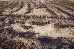 рис хлебоуборки полей Стоковые Фотографии RF