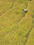 рис хлебоуборки сиротливый стоковые фотографии rf