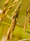 рис Стоковое фото RF