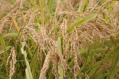 рис 2 Стоковая Фотография