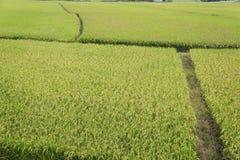 рис Стоковое Изображение RF