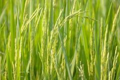 Рис Стоковые Изображения RF