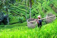 Рис fields Индонезия Стоковая Фотография
