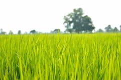 Рис fields мягкий стиль конспекта фокуса Стоковые Изображения