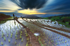 Рис fields на террасном на Чиангмае, Таиланде стоковое фото rf